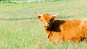 Vaca do vermelho das montanhas Imagem de Stock