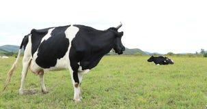 Vaca dois na pastagem video estoque