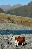 Vaca doméstica no riverbank fotos de stock