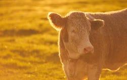 Vaca doméstica, por do sol da exploração agrícola de leiteria Foto de Stock Royalty Free