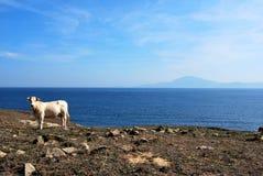 Vaca e África Fotografia de Stock
