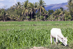 Vaca e agricultura em Tailândia Foto de Stock Royalty Free