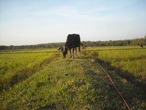 Vaca e campo de milho Fotografia de Stock Royalty Free