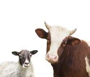 Vaca e carneiros Fotografia de Stock
