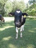 Vaca e cavalo no pasto Fotografia de Stock Royalty Free