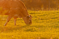 Vaca e grama Fotos de Stock Royalty Free