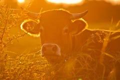 Vaca e grama Fotografia de Stock Royalty Free