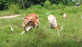 Vaca e pássaro Fotografia de Stock Royalty Free