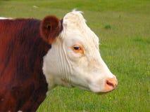 Vaca e pastagem Foto de Stock