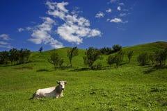 Vaca e prado pequenos Foto de Stock