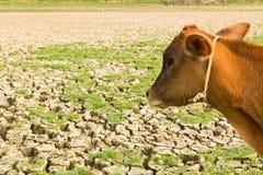 Vaca e terra rachada Fotos de Stock Royalty Free