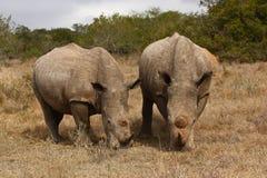 Vaca e touro do rinoceronte. Fotos de Stock Royalty Free