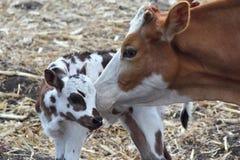 Vaca e vitela imagens de stock royalty free