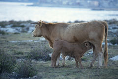 Vaca e vitela Fotografia de Stock Royalty Free