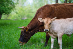 Vaca e vitela Fotos de Stock