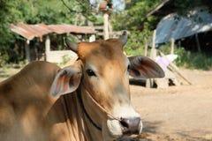 Vaca e vitela Foto de Stock