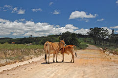 Vaca e vitela Foto de Stock Royalty Free