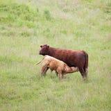 Vaca e vitela de Brown Imagens de Stock