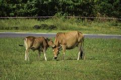 A vaca e a vitela marrom estão comendo a grama imagens de stock