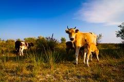 Vaca e vitelas Imagem de Stock Royalty Free