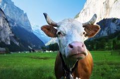 Vaca em cumes Região de Jungfrau imagens de stock royalty free