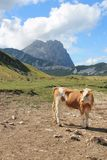 Vaca em prados da montanha fotografia de stock