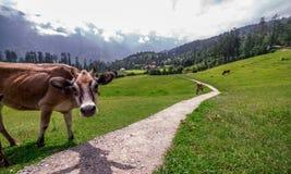 Vaca em prados verdes nos himalayas, grande parque nacional Himalaia, vale de Sainj, Himachal Pradesh, Índia imagens de stock