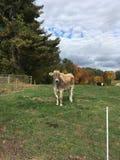 Vaca em um campo Fotos de Stock