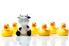 Vaca em um grupo de patos de borracha amarelos Imagem de Stock