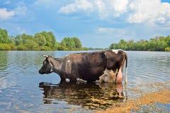 Vaca em um lugar molhando Fotos de Stock Royalty Free