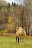 Vaca em um pasto Fotos de Stock Royalty Free