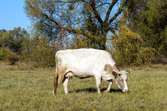 Vaca em um pasto Fotografia de Stock Royalty Free
