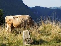 Vaca em um pasto da montanha alta Fotografia de Stock Royalty Free