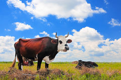 Vaca em um pasto do verão Imagens de Stock