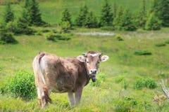 Vaca em um prado alpino foto de stock