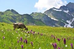 Vaca em um prado alpino fotos de stock royalty free
