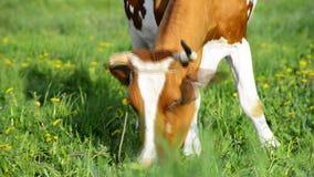 A vaca em um prado está comendo a grama video estoque