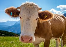 Vaca em um prado que olha a uma câmera com os cumes no fundo imagem de stock