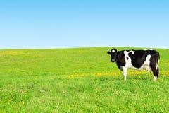 Vaca em um prado verde Foto de Stock Royalty Free