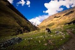Vaca em um vale no Peru foto de stock