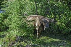 A vaca em uma caminhada Fotografia de Stock Royalty Free