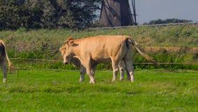Vaca em uma exploração agrícola vídeos de arquivo