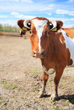 Vaca em uma exploração agrícola Imagem de Stock