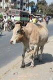 Vaca em uma rua movimentada em Kolkata Imagens de Stock Royalty Free