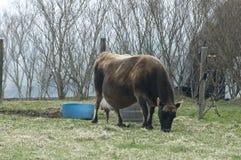 Vaca embarazada Imágenes de archivo libres de regalías