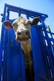 Vaca en agolpamiento Foto de archivo libre de regalías