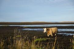 Vaca en agua fangosa Fotografía de archivo libre de regalías