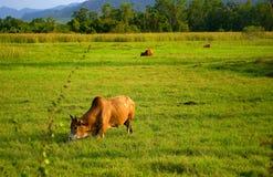 Vaca en archivado Foto de archivo