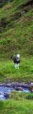 Vaca en campo Fotos de archivo libres de regalías