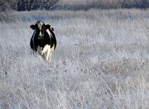 Vaca en campo del invierno Imagenes de archivo